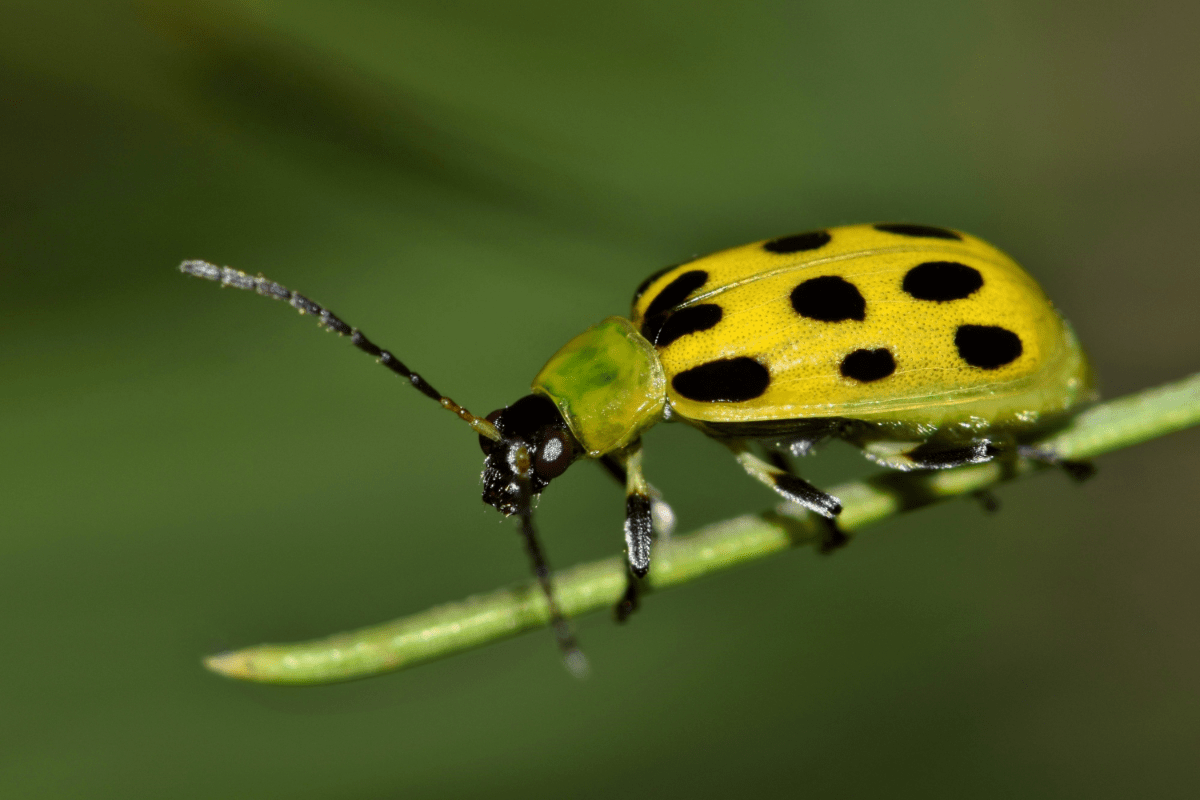 How to Get Rid of Cucumber Beetles Organically