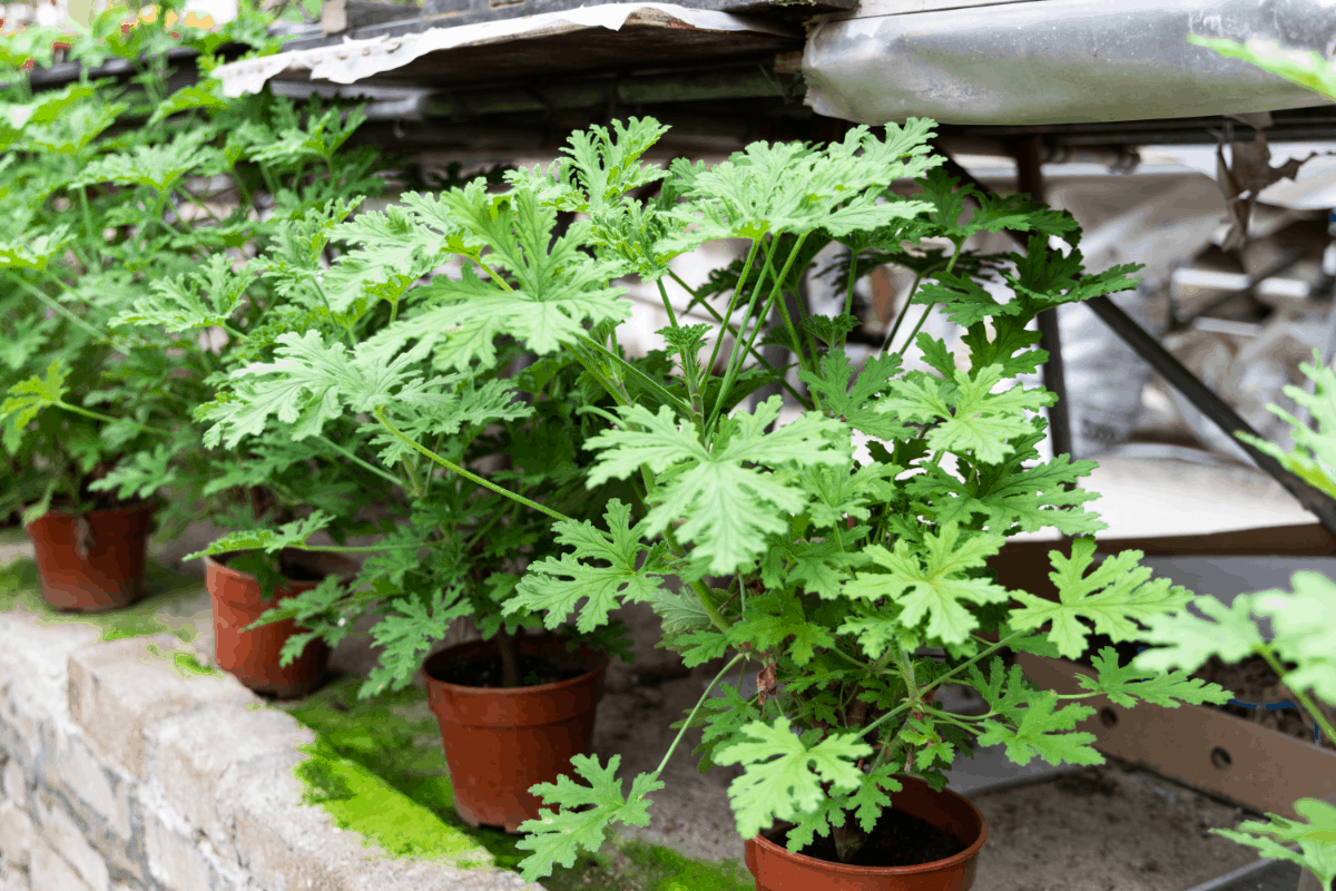 10 Amazing Mosquito Repelling Plants
