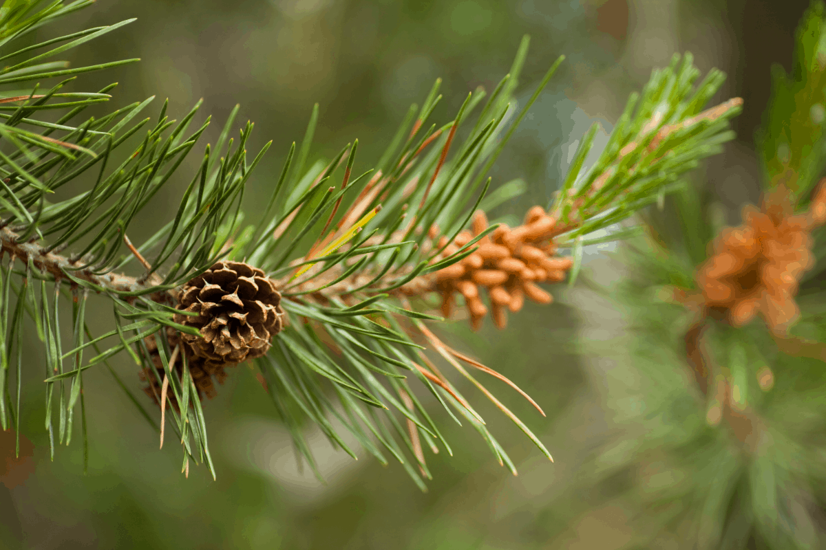 Are Pine Needles Good for Compost
