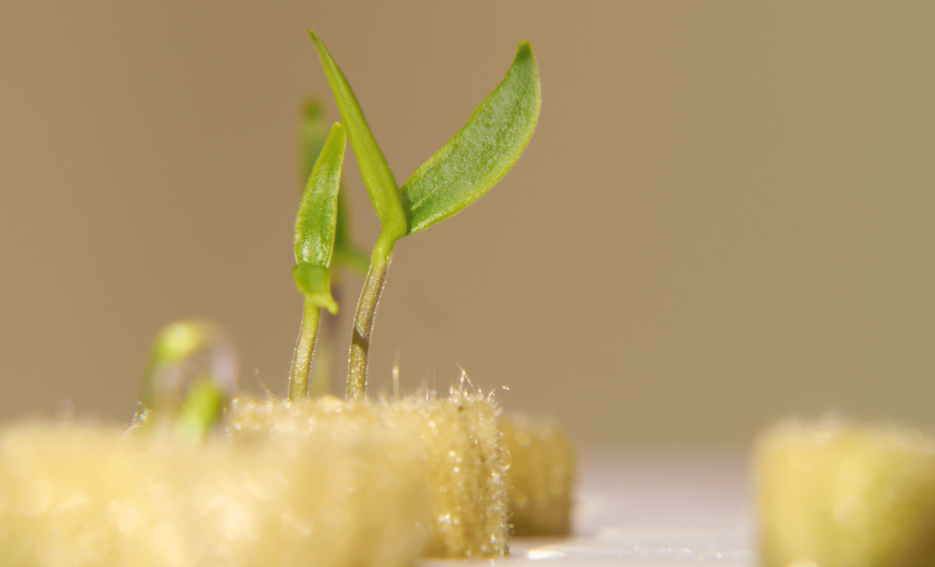 How to germinate a seed in hydroponics