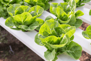 Is It Time to Switch to Hydroponics