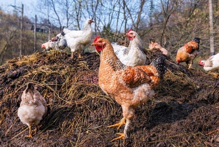 How Long To Compost Chicken Manure