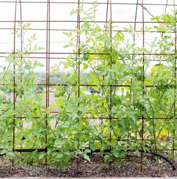 5 DIY Tomato Trellis Design Ideas to Borrow