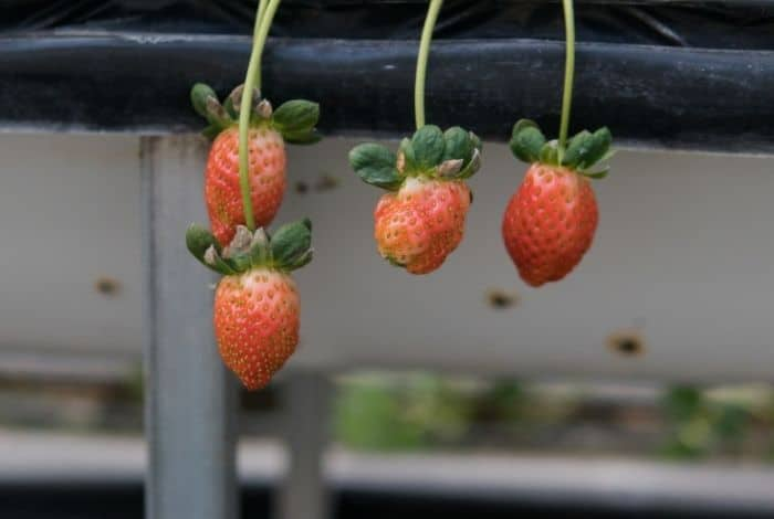 Pollination Requirements - Hydroponic Strawberries