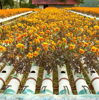 6 Best Flowers For Aquaponics