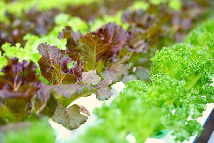 Best Plants For Small Aquaponics - greens and herbs