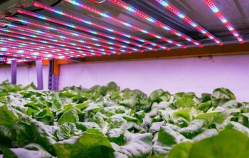 Hydroponic Lettuce Light Requirements