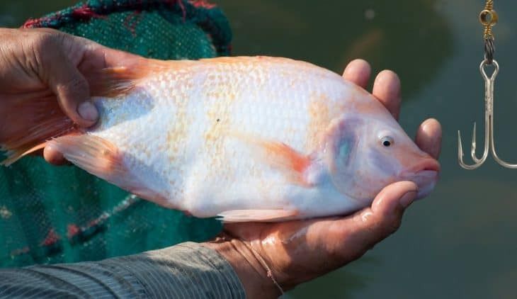 Best Bait For Tilapia & Tips To Catching Tilapia