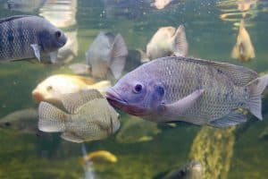 How Many Tilapia Per Gallon