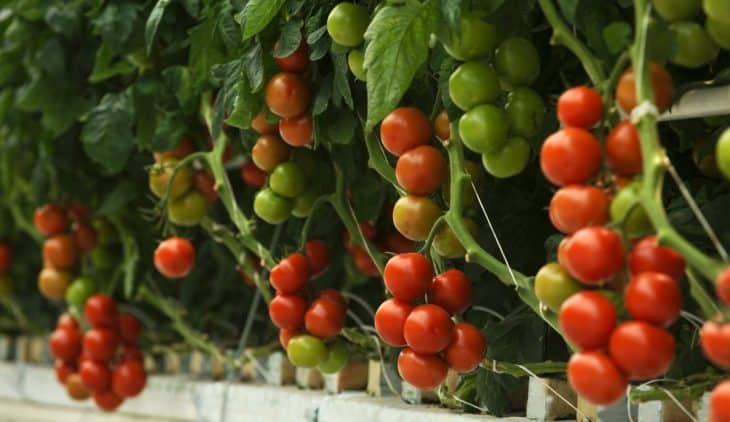 Best pH For Hydroponic Tomatoes