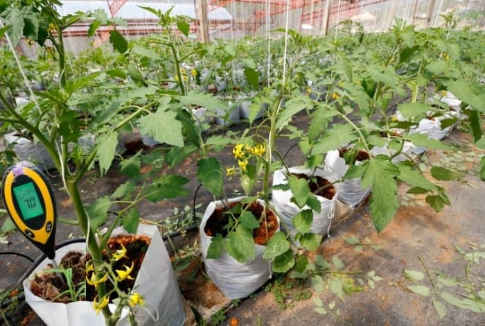 Causes Of Change In Hydroponic Tomatoes pH