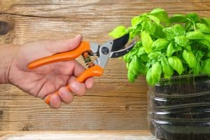 How To Trim Basil To Promote Growth
