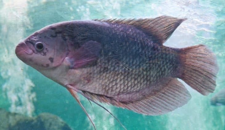 Tilapia Temperature Requirements In Aquaponics