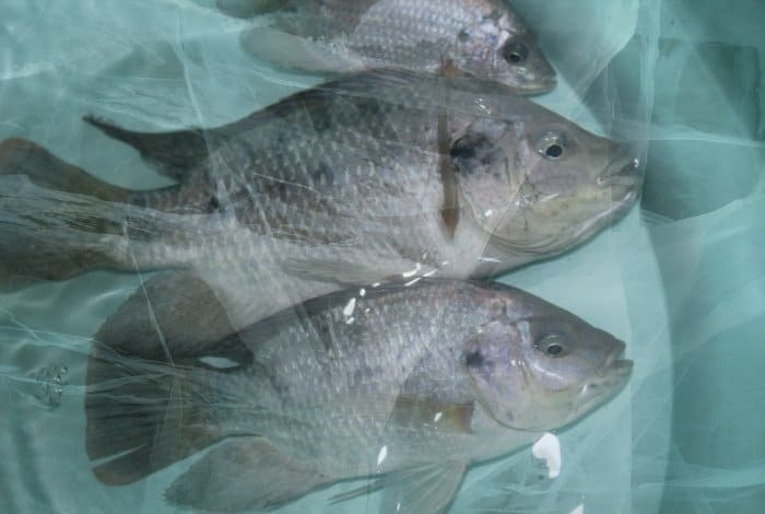 What are Tilapia Temperature Requirements