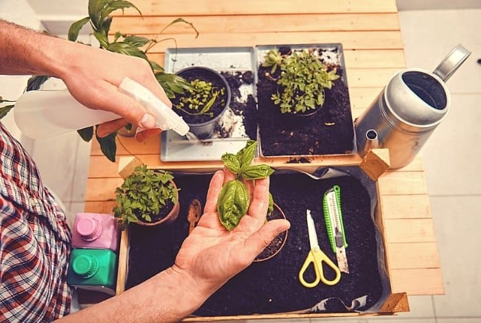 When to Trim Basil Plants to Promote Growth