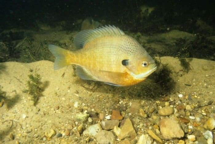 Info About Bluegill Fish: What To Feed Bluegill In An Aquarium