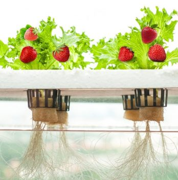 Kratky Method For Strawberries
