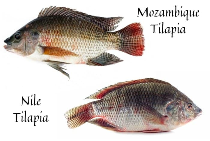 Tilapia Breeds That Are Fast Growing