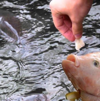 What To Feed Tilapia In Aquaponics