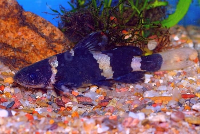 Why Raise Catfish In A Tank - Features