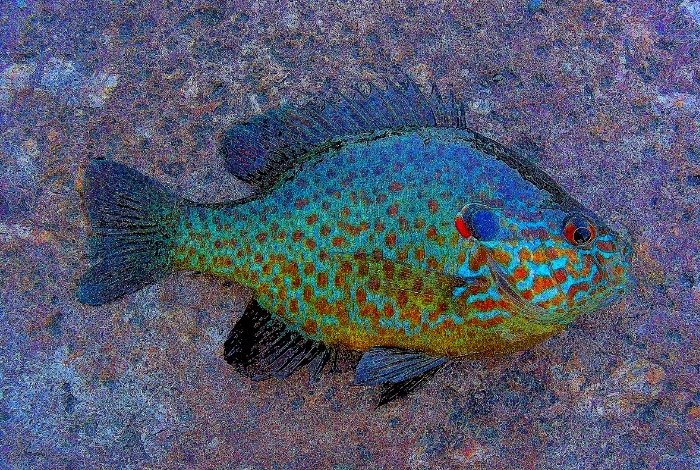A Little About Bluegill Fish