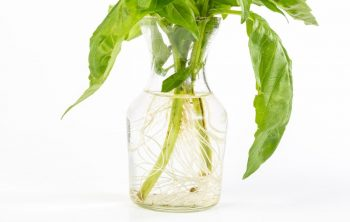 How To Grow Basil Hydroponically