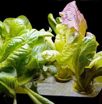 PH For Hydroponic Lettuce