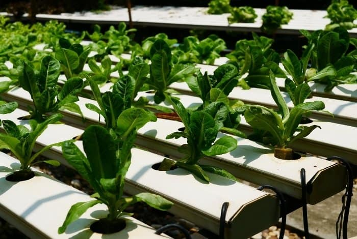 Required pH For Hydroponic Lettuce