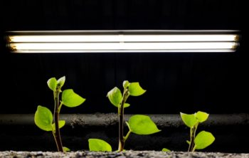 Growing With T12 Fluorescent Lights