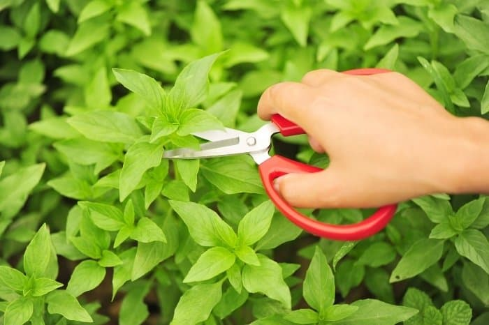Best Time For Picking Basil