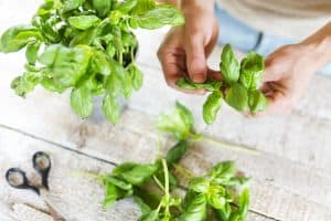 How To Pick Basil
