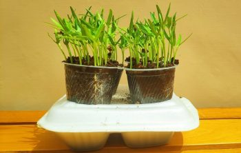 Growing Spinach Indoors Hydroponics