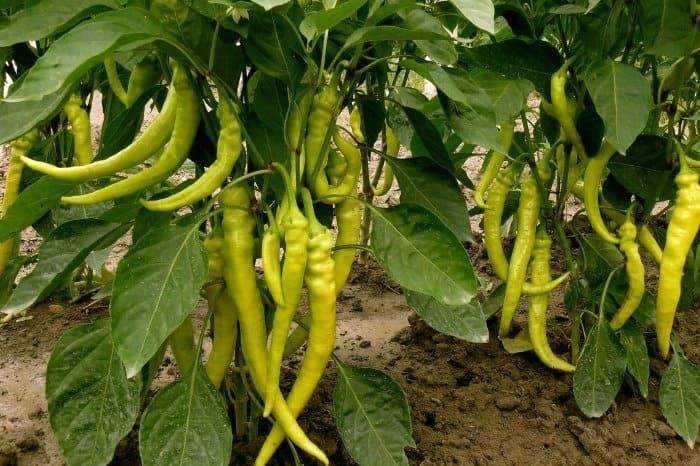 Growth And Harvesting Italian Long Hot Pepper