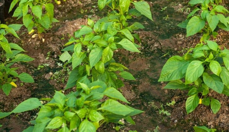 How Far Apart To Plant Green Peppers