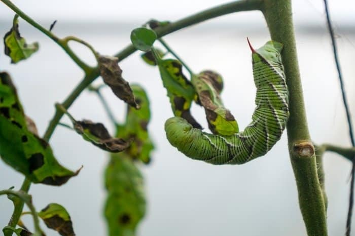 Signs Of Tomato Worms Infestation