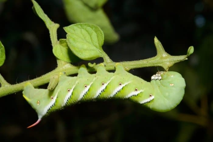 What Are Tomato Worms