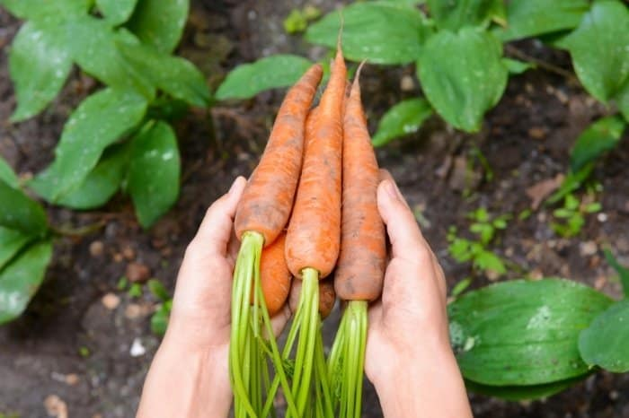 How Do You Know When Carrots Are Ready To Pick