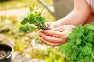 How To Cut Fresh Cilantro From Plant