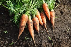 How To Tell When Carrots Are Ready To Pick
