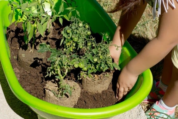Know If You Can Plant Tomatoes And Pepper Together