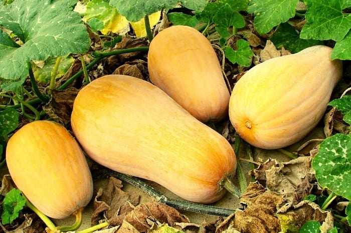 Some Info About Butternut Squash Plant