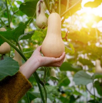 When Are Butternut Squash Ready To Pick