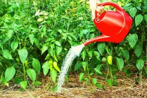 How Much To Water Pepper Plants