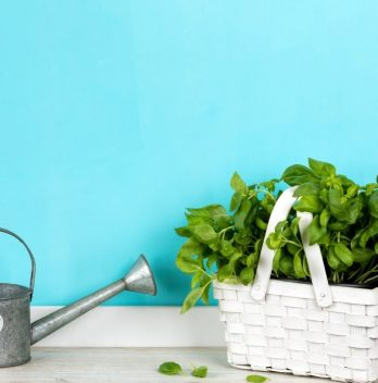 How Often Do You Water Basil Plant