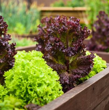 How To Grow Salad Bowl Lettuce In Containers