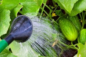 Over Watering Cucumbers